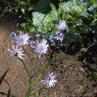 Scorzonera purpurea, purpurfibbla