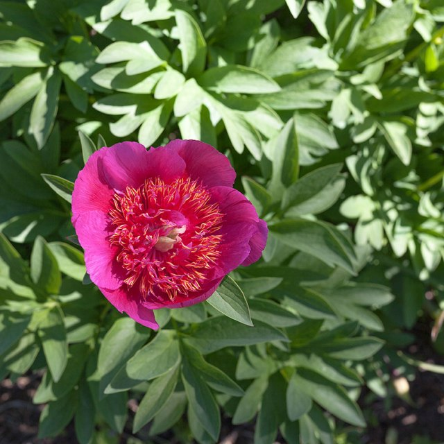 Paeonia 'Dutch Dwarf'