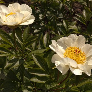 Paeonia Yellow Q