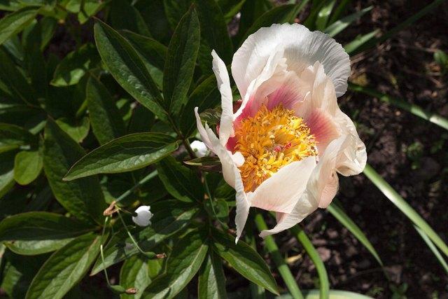 Paeonia 'Athena'
