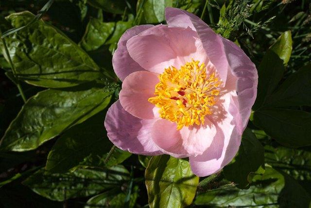 Paeonia pink Q