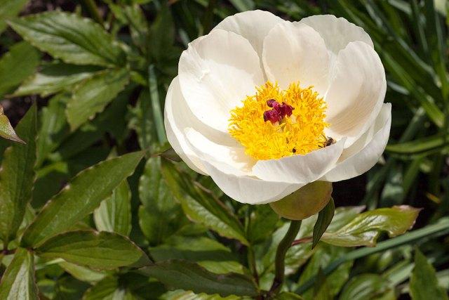 Paeonia steveniana
