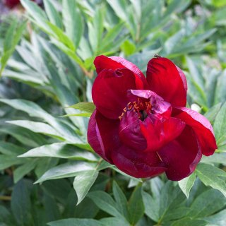 Paeonia itoh 'Scarlet Heaven'