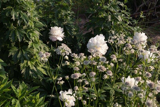 Paeonia lactiflora 'Solange'