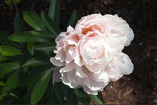 Paeonia lactiflora 'Candy Hearts'