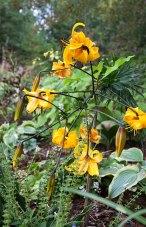 Liliium leichtlinii