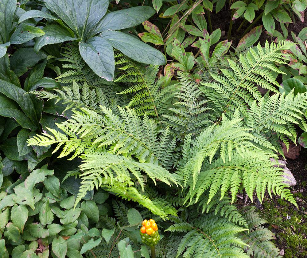 Polystichum braunii, ormbunkar