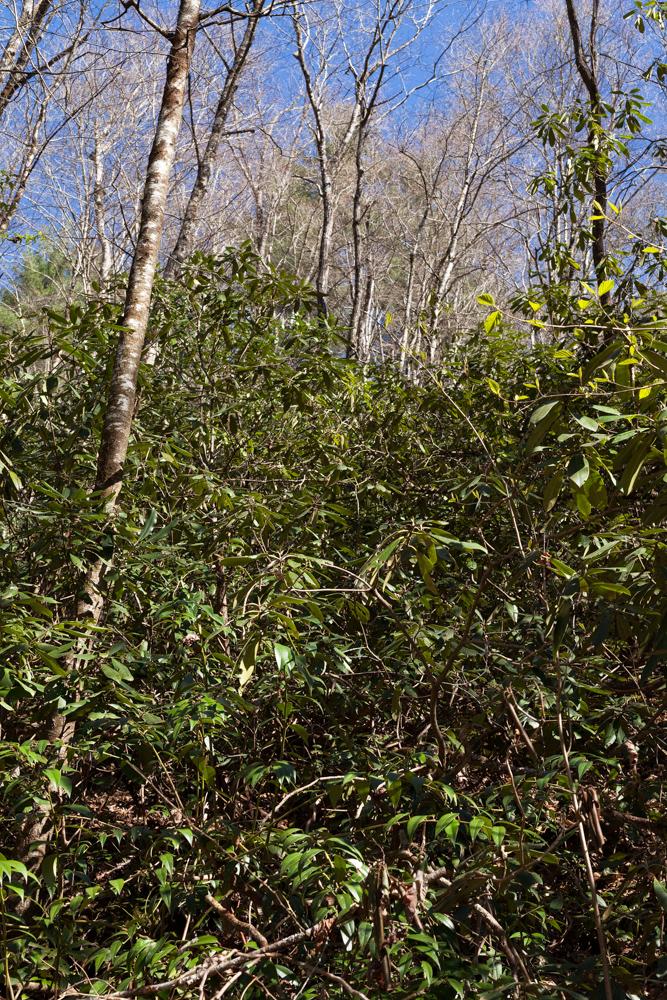 Föröka rhododendron – jag tittar till