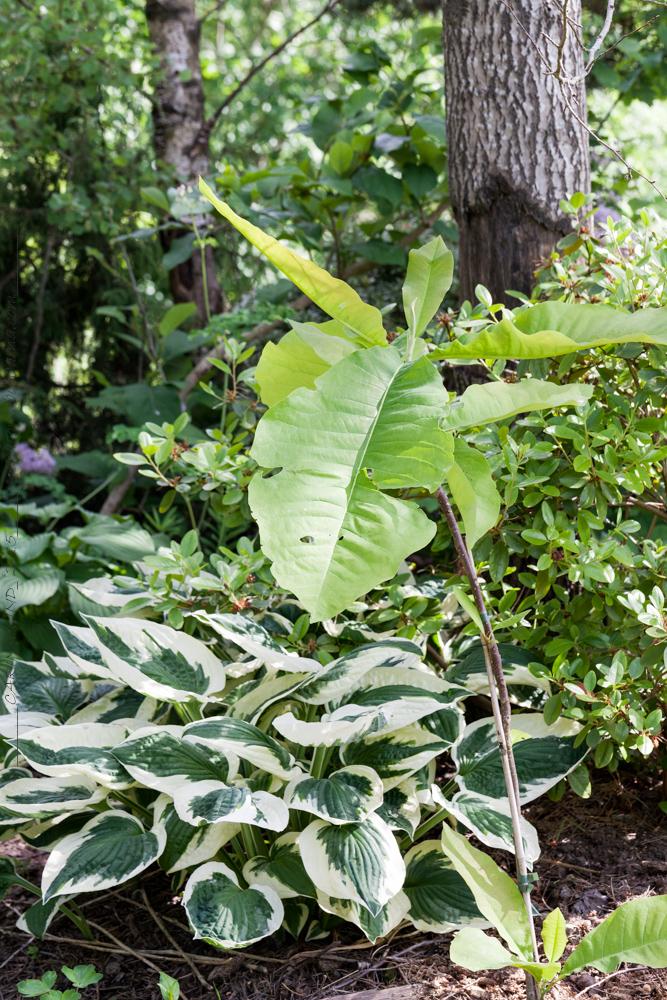 planteringar - Magnolia tripetala