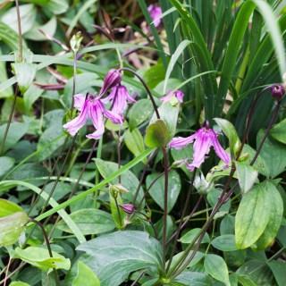 Clematis integrifolia 'Floriss Vijf'