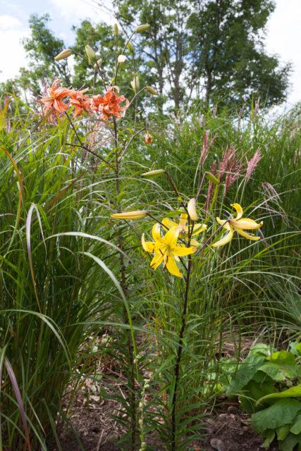 Lilium lancifolium v flaviflorum
