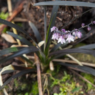 Ophiopogon planiscipes 'Niger'