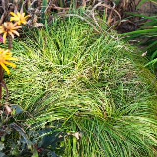 Carex 'The Beatles'