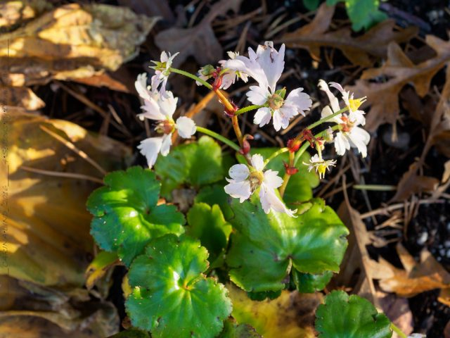 Saxifraga fortunei Cheap Confections