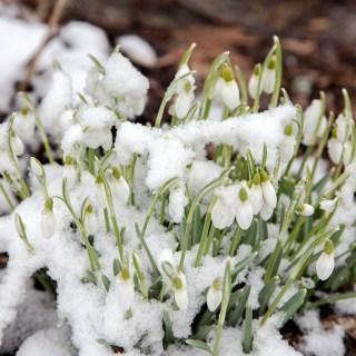 Galanthus nivalis, snödroppe