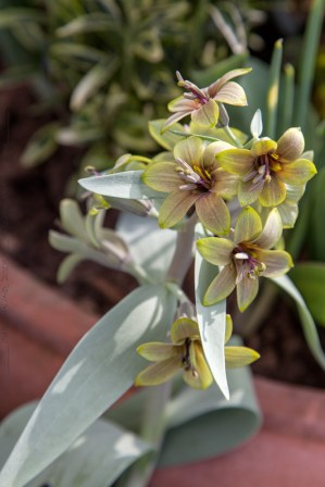 Fritillaria sewerszowii 'Brown Eyes'