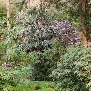 Rhododendron rex. gotbot