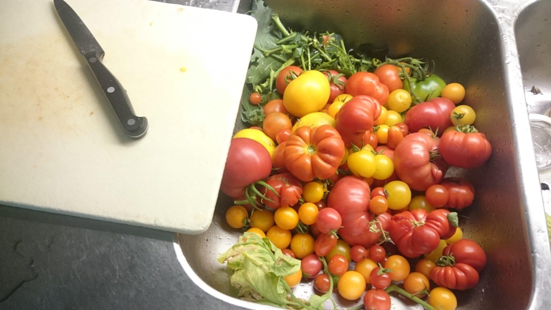 Tomatskörden blir rejäl