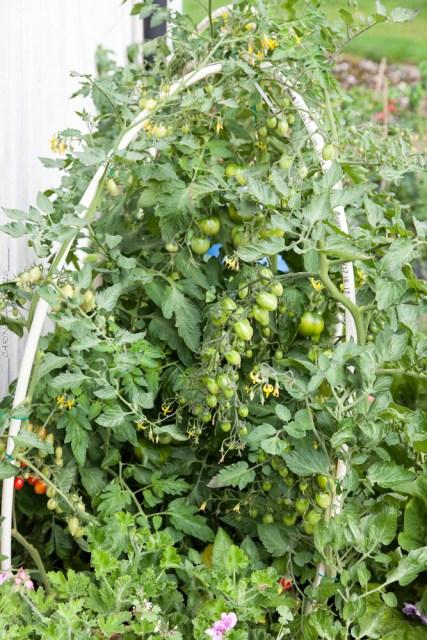 Tomatskörden - tomaterna blir många, många