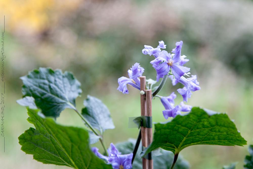 Clematis heracleifolia 'China Purple'