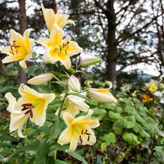 Lilium hybr. White/yellow mix
