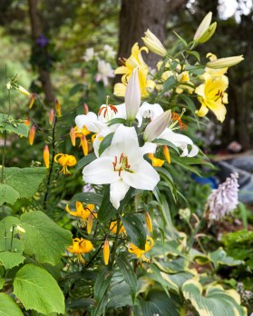 Lilium hybr. White/yellow mix