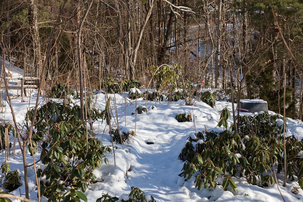 Kallt - rhododendron har rullat ihop sina blad