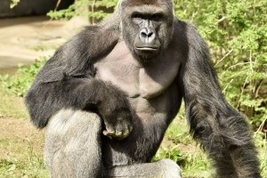 Cincinnati Zoo Gorilla Shot After 4 Year Old Enters Habitat