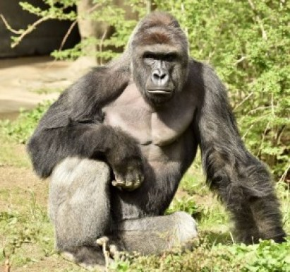 "I've seen the ""graphic"" video footage the news cut out :( Cincinnati Zoo Gorilla Shot After 4 Year Old Enters Habitat"