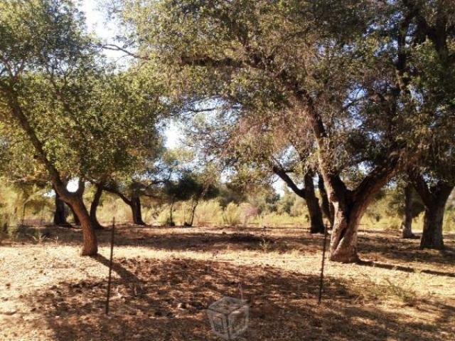 Remanente del ancestral bosque de encinos en San Antonio de las Minas (Foto: internet).