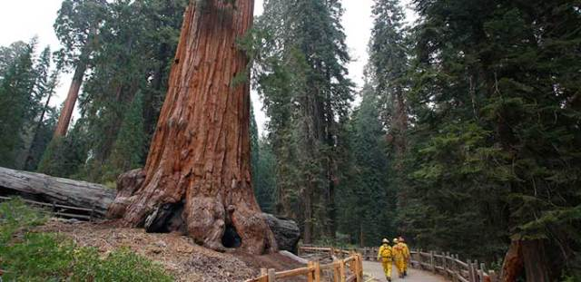 SECUOYAS GIGANTES CALIFORNIA