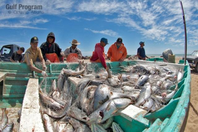 La pesquería de curvina en el Alto Golfo de California ha sido objeto de múltiples actividades ilegales que afecta a los pescadores que respetan las temporadas de veda y las cuotas de máxima explotación comercial .