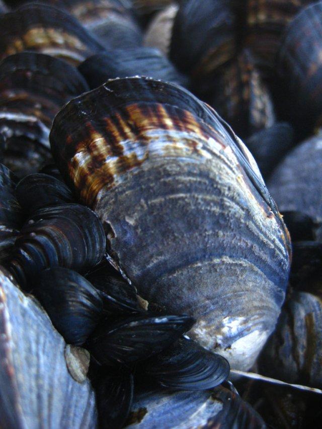 La capacidad que tiene el mejillón del género Mytilus sp. para acumular contaminantes en sus tejidos, hace que este molusco sea un indicador de la contaminación por metales pesados y pesticidas en el medio marino (Foto: tomada de naturalista.com)