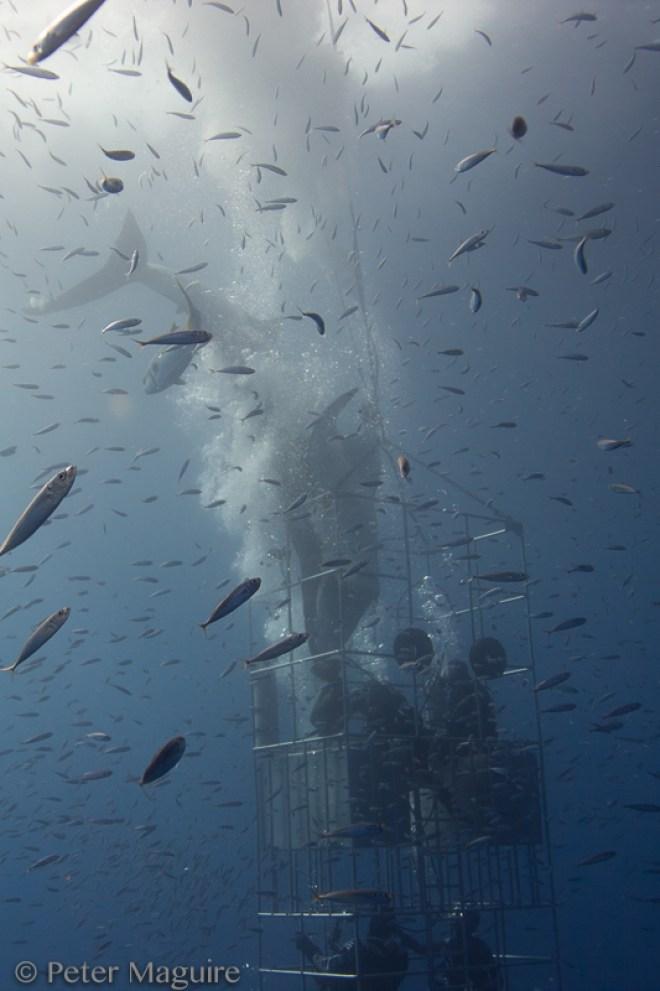 incidente-tiburon-blanco-guadalupe-1