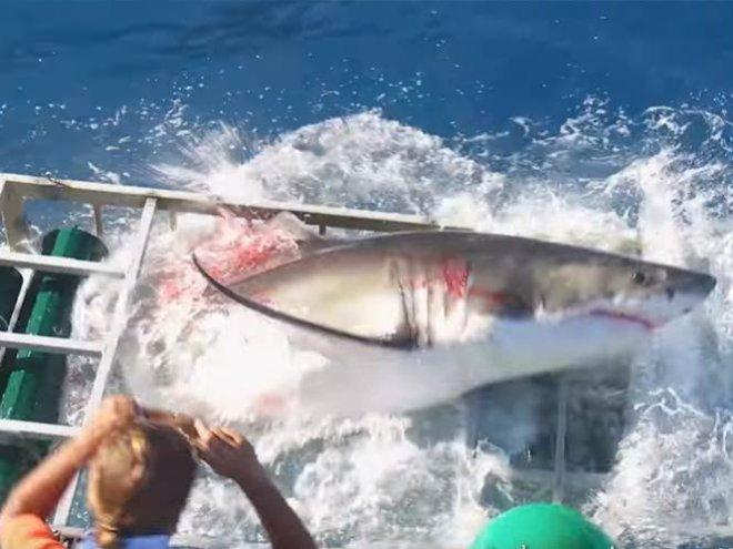 tiburon-blanco-lastimado-en-jaula