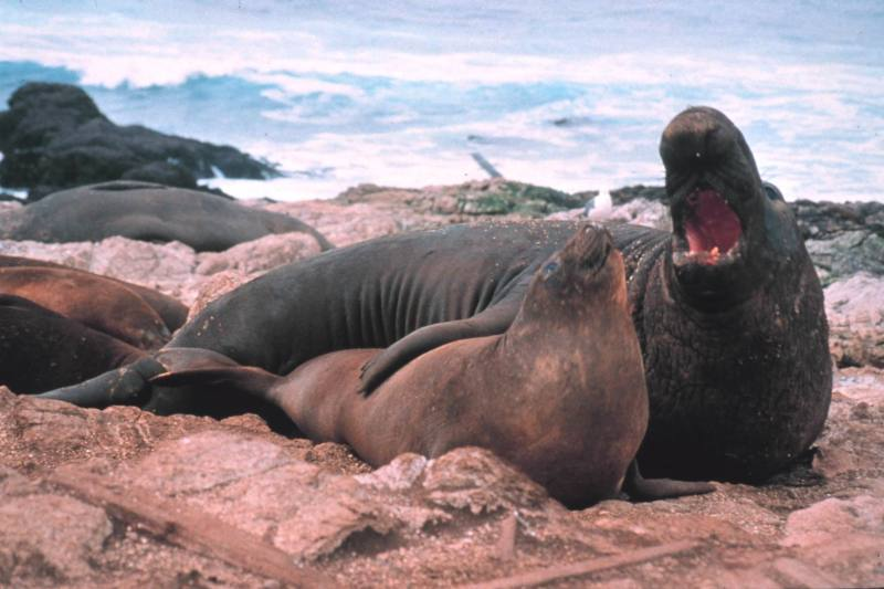 lobo-marino-apareamiento