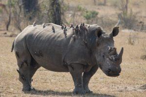 Kruger - Rhino
