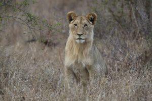 Kruger - Lioness