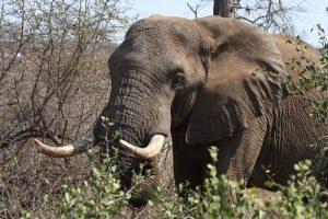 Kruger - Elephant