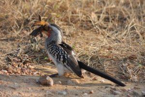 Kruger - Hornbill