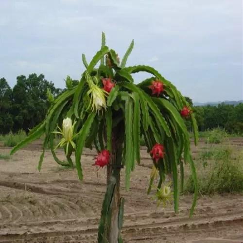 Da família dos cactos, é usada como emagrecedor e para fazer de esfoliante a xampu