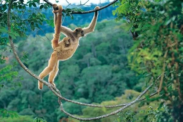 Dois macacos da espécie Muriqui da Mata Atlântica de Minas Gerais