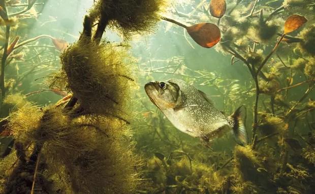 Um solitário peixe flagrado em seu ambiente natural no Pantanal