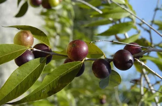 """A fruta é a maior fonte de vitamina """"C"""". Bem mais do que a acerola"""