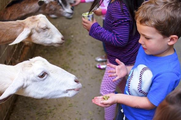 Feed the goats at Lemos Farm