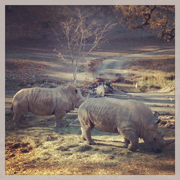 safari-west-santa-rosa-rhinos