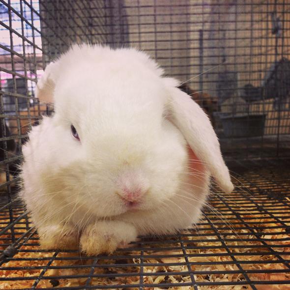 Bunnies at Alameda County Fair