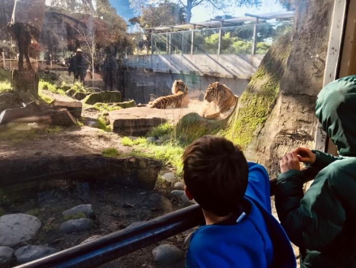 San Francisco Zoo Tigers