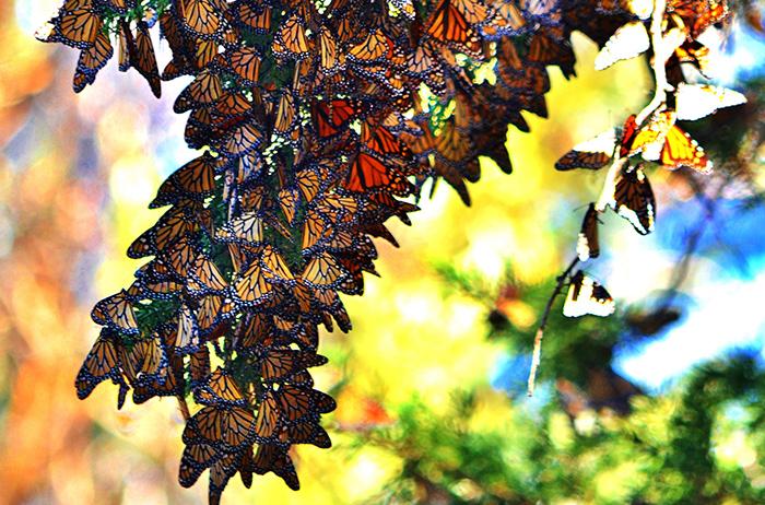 monarch butterflies california