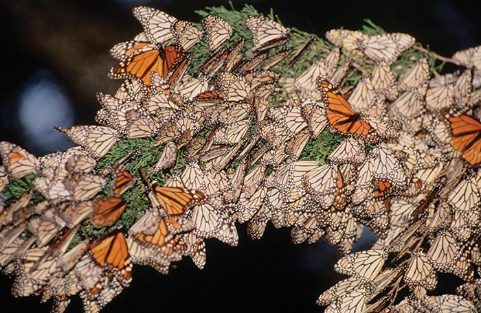 pacific grove butterflies